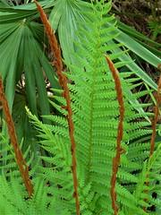 Cinnamon fern (alansurfin) Tags: cinnamonfern osmundacinnamomea green fern fronds plant spores spring