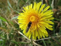 Lapping it up (JulieK (ready for another 365 challenge)) Tags: fly diptera wingwednesday hww 100flowers2017 canonixus170 flower yellow insect macro eyes dandelion beautifulnature wexford ireland irish 2017onephotoeachday