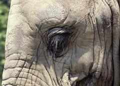 ZOO0002-4 (Akira Uchiyama) Tags: 動物たちのいろいろ 目 目ゾウアフリカゾウ