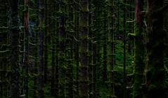 Skog (scarburgiceras) Tags: norway bergen wood skog forest outdoor natur green grønt tree tre totland