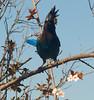 Stellers Jay 20150308 (caligula1995) Tags: plumflower plumtree stellersjay