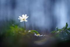 Anemone (Petra Runge) Tags: anemone blumen wald natur flora frühling springtime nature forest wood flowers blüten