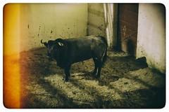 _MG_6192 (Chacho381) Tags: toros corrida torero sevilla andalucia cuernos ruedo
