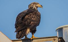 Eagle on the Lighthouse (nickinthegarden) Tags: lighthousemarinepark pointroberts washingtonstate usa americanbaldeagle