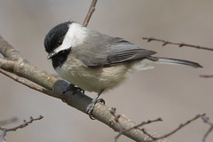 Carolina Chickadee 4-2-2017-5 (Scott Alan McClurg) Tags: emberizidae flickr pcarolinensis paridae passeroidea poecile animal back backyard bird bloom blossom bud carolina carolinachickadee checkadee flickrbirds flower forest life nature naturephotography neighborhood pear perch perching portrait smallbirds songbird suburbs tree wild wildlife winter woods yard delaware