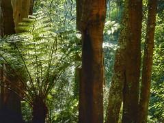 Trees (sander_sloots) Tags: trees dandenong ranges national park melbourne belgrave ferntree bomen boomvaren cold temperate
