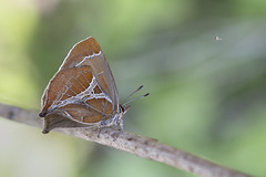 【尖灰蝶/歪紋小灰蝶】  Amblopala avidiena y-fasciata (Sonan, 1929) (Sam's Photography Life) Tags: 尖灰蝶 歪紋小灰蝶 小灰蝶 灰蝶 早春五寶 早春八寶 進擊的巨人 紅色 洪 紅 y文 y canon 1dx 100mm 1d marco mraco butterfly insect 百微 蝴蝶 生態 自然 昆蟲 鱗翅目 合歡 尖石 麻美 萬里山園