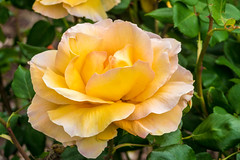 Rose (randyherring) Tags: neighborhood spring elkgrove nature outdoor california flora beautiful rose centralcaliforniavalley afternoon springflowers blooming bloom ca flowers suburban unitedstates us