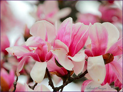 Magnolia_17 (sh10453) Tags: oakpark michigan usa flowers magnolia spring canon eos5d llenses trees