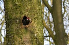 Mr. Black Woodpecker (Jaedde & Sis) Tags: sortspætte dryocopusmartius black woodpecker male nest tree peek challengefactorywinner unanimous thechallengefactory