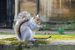 Little Nutter (Tina Townhill) Tags: squirrel nut greysquirrel wildlife nature grey animal tail