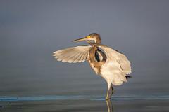 Landed Gentry (gseloff) Tags: tricoloredheron bird landing wildlife horsepenbayou pasadena texas kayakphotography gseloff
