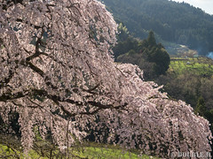 Sakura trees at west Yoshino area (3) (double-h) Tags: omd em1markii omdem1markii mzuikodigitaled1442mmf3556ez 桜 さくら 枝垂れ桜 しだれ桜 西吉野 奈良県 下市町 sakura cherryblossoms weepingcheerytree weepingsakura naraprefecture nishiyoshino westyoshino shimoichitown