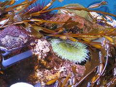 anemone 07 (thedawnsbrain) Tags: sea anemone seaanemone