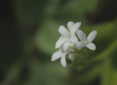 petite fleurs blanches (bulbocode909) Tags: fleurs nature printemps valais suisse vert