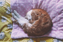 Snug (cuppyuppycake) Tags: ginger sleeping cat pet indoor bed polka dots tired content