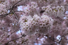 Cherry Blossoms (careth@2012) Tags: flower flowers spring nature blossoms cherryblossoms
