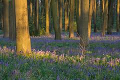 Evening in the bluebells (gillian.pullinger) Tags: bluebell bluebellwoods woods woodland flowers micheldever hampshire spring evening warmlight landscape