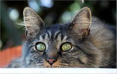 Puki 🐱 (Simply Viola) Tags: gato gatto katze kot feline animal pet