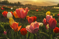Tulip bed (pwendeler) Tags: tulpe tulip tulpenbeet tulpenfeld feld tulipbed bedoftulips flowerbed blume flower natur nature rot red orange sony maintal