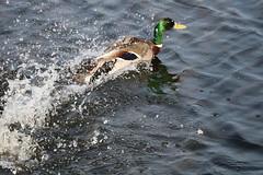 227 (AO'Brien) Tags: arklow wicklow autumn birds duck