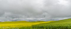 NT3.0033-CW1605618_38679 (LDELD) Tags: palouse pullman washington unitedstates us canola field plouse flowers yellow storm clouds stormy spring
