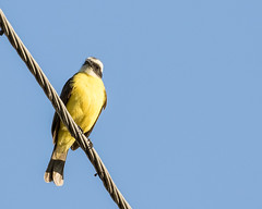 Social Flycatcher (J.B. Churchill) Tags: birds costarica flycatchers heredia hotelbougainvillea places sofl socialflycatcher taxonomy santodomingo cr