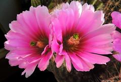 Colori di Primavera - Echinocereus (Paolo Bonassin) Tags: cactaceae cactacee cactus succulente flowers echinocereus