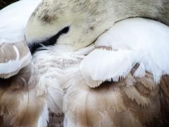 Dozing (garryknight) Tags: cybershot dschx60v lightroom london ononephoto10 sony stjamesspark bird muteswan swan