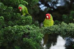 Wild Red-Masked Parakeet (Tyler C. Grudowski Photography) Tags: sanfrancisco california coittower bay wildlife nature canon parrot parakeet