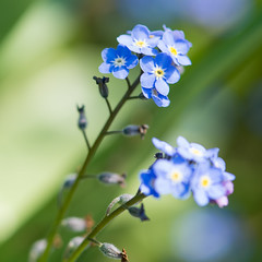 foret me not..... (gilliesavo. Catching up :)) Tags: forgetmenot bokeh focus detail spring blue delicate