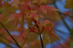 1389-30L (Lozarithm) Tags: oldforge leaves acers maples k50 pentax zoom 55300 hdpda55300mmf458edwr blip justpentax