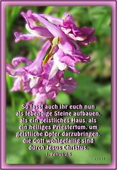 Lasst euch aufbauen / let yourselves be built (Martin Volpert) Tags: gemeinde aufbauen einfügen hohlerlerchensporn bedecktsamer magnoliopsida eudikotyledonen ranunculales papaveraceae hahnenfusartige mohngewächse erdrauchgewächse fumarioideae corydalis mavo43 blüte blumen flor cvijet kvet blomster flower floro õis lore kukka fleur bláth virág blóm fiore flos žiedas zieds bloem blome kwiat floare ciuri flouer cvet blomma çiçek pflanze bibel bibelvers bibelverskarte bible christentum christian christianity