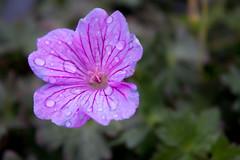 Geranium 'Breathless' (MGormanPhotography) Tags: geranium breathless geraniaceae perennial cranesbill pink rose flower bloom black purple dark green foliage patent mg00663