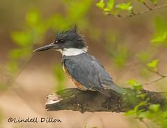 Belted Kingfisher (Lindell Dillon) Tags: beltedkingfisher bird nature missouri drurymincyconservationarea lindelldillon branson