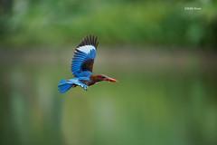 White-throated Kingfisher with snack (eddylynx) Tags: kingfisher bif flight bird sigma120300mmf28apoexdgos