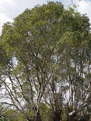 Swietenia mahagoni -- West Indian Mahogany (podicep) Tags: westindianmahogany evergladesnationalpark swieteniamahagoni meliaceae mahoganyfamily