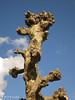 IMG_8930 - Plataan ( Platanus ) (Arnoldus1942) Tags: platanen platanus