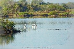 White birds gathering ... (NancySmith133) Tags: merrittislandnationalwildliferefuge blackpointwildlifedrive nationalparks centralfloridausa eastcoast