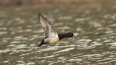 Ring-Necked duck (Photography by Ramin) Tags: ringnecked duck ottawa river bif flight canada ontario bird beautyoffeather canadian wildbirds