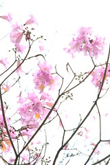 IMG_0743 - 葵芳邨 Kwai Fong Estate (Mak_Ho) Tags: 紅花風鈴木 tabebuiarosea 洋紅風鈴木 葵安樓 kwaionhouse 葵芳邨 kwaifongestate 葵芳 kwaifong 新界 newterritories 香港 hongkong 攝影 photography 植物 vegetation 佳能 canon 700d 花 flower
