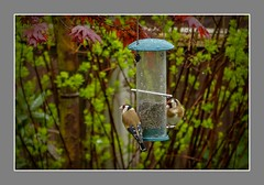 Goldfinches (Carduelis carduelis) (ro-co) Tags: fz200 panasonic gardenbirds birds birdwatcher goldfinches wildlife