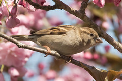 Female House Sparrow in a Kwanzan Cherry Tree-29 (Scott Alan McClurg) Tags: aves flickr pdomesticus passer passeridae passeriformes animal back backyard bird bloom blossom cherry cherrytree flickrbirds flower forest house housesparrow life nature naturephotography neighborhood perch perching portrait songbird sparrow spring storm suburbs tree urban wild wildlife woods