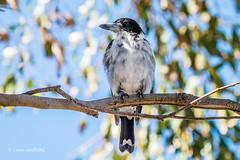 Grey Butcher Bird D50_7148.jpg (Mobile Lynn) Tags: wild birds nature butcherbird bird fauna wildlife yanakie victoria australia au