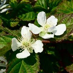 Blackberry Flowers (Assaf Shtilman) Tags: blackberry flowers white