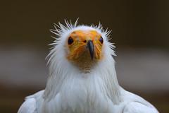 Egyptian vulture (Schmutzgeier) (roland_zink) Tags: animal frankfurtammain hessen deutschland deu