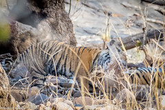 Feeding (Nedko Nedkov) Tags: april asia india rajhastan rathambore bird spring tiger wildlife cob noor t39 prey