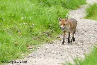Red Fox-Vixen