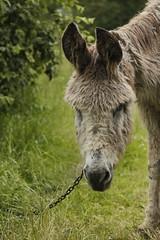 _MG_6107 (Pablo Alvarez Corredera) Tags: burro gato gata gallina rural medio vida hierba alta pradera praderio espigas arbol arboles burrito orejas orejitas gatita