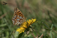 A Queen and a Lion (finor) Tags: sony alpha a6500 ilce6500 sal70400g2 queenofspainfritillary butterfly insect spring dandelion kleiner perlmuttfalter
